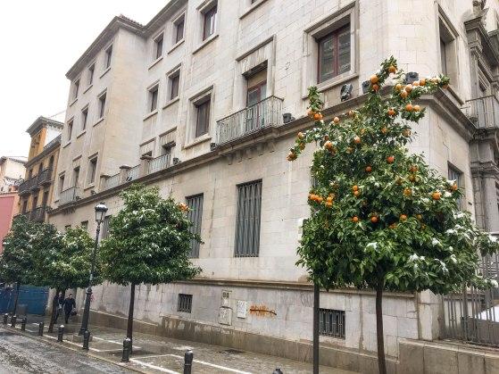 Snowy orange trees