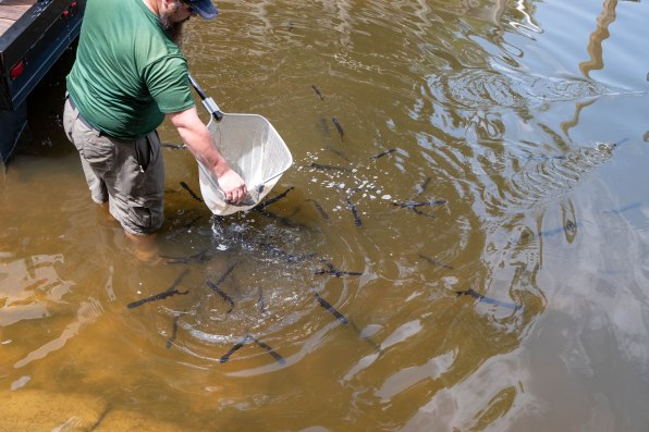 Texas Parks & Wildlife releasing baby paddlefish